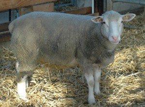 url-300x221 ILE DE FRANCE Bélier béliers brebis agnelles mouton