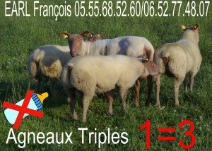 3+2-300x214 agnelles à vendre dans