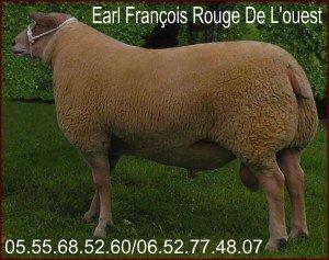 Berrichon du Cher RACE DE MOUTON Intéressant POUR LA BREBIS AGNELLES  BELIER  BERRICHON DU CHER rroo+-300x237
