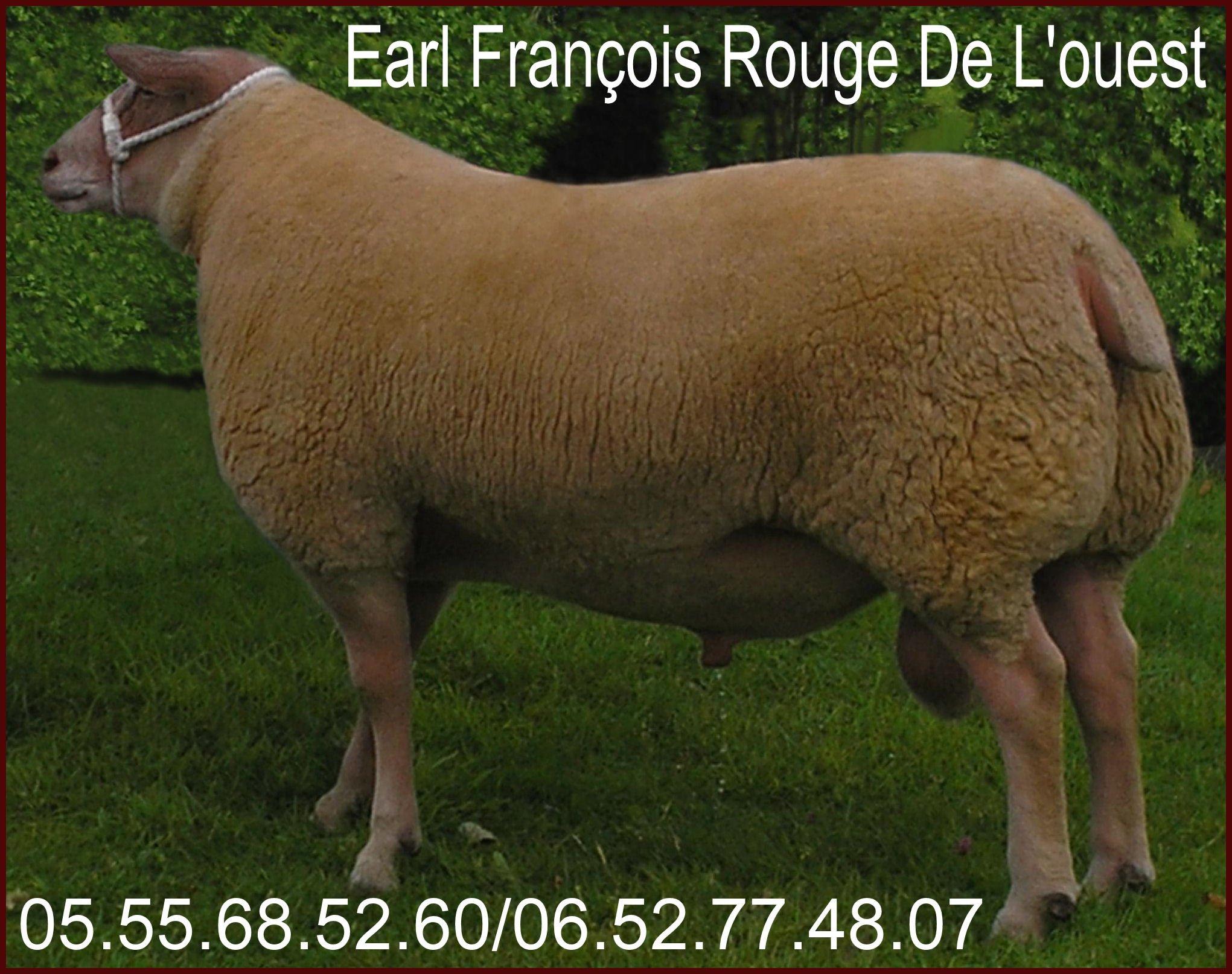ile de france b lier brebis agnelles mouton le croisement. Black Bedroom Furniture Sets. Home Design Ideas